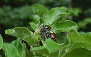 festin de escarabajos
