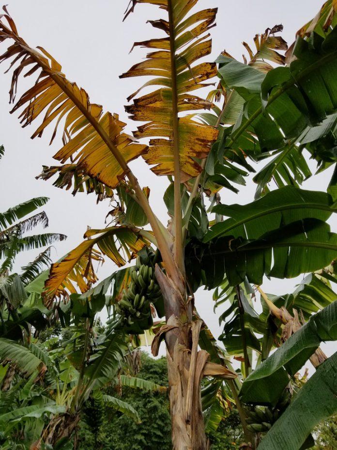fusarium en banana