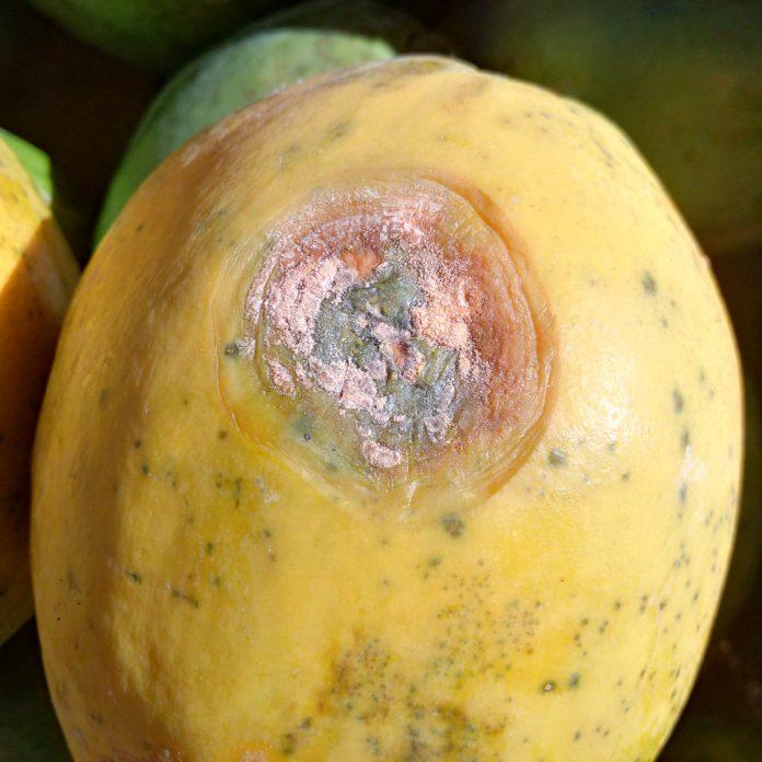 papaya con antracnosis