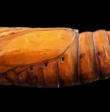 gusano cortador