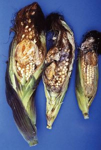 cornezuelo en maiz