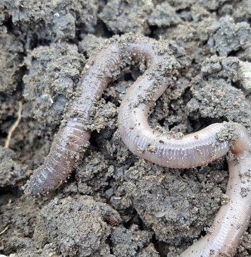 gusano blanco